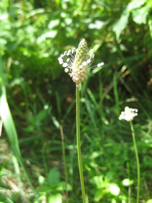 English Plantain [Plantago lanceolata]
