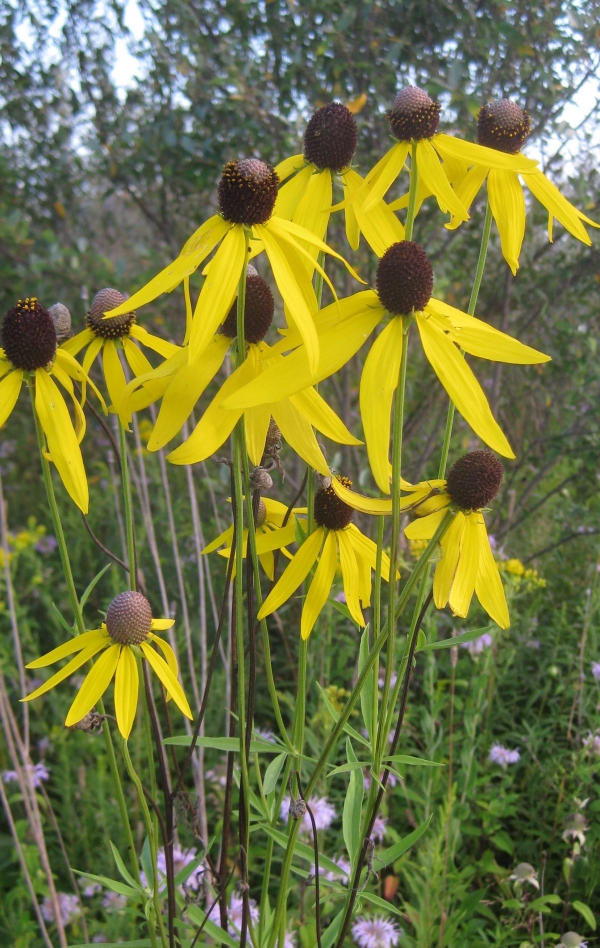 Prairie Coneflower [Ratibida pinnata]