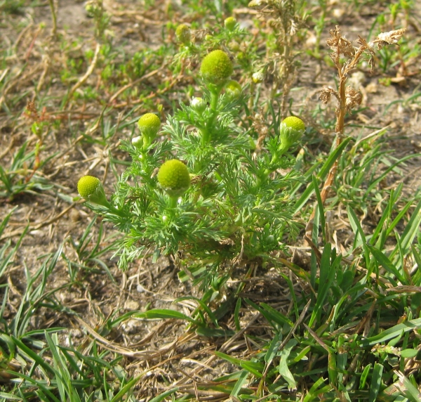 Pineapple Weed [Matricaria matricarioides]