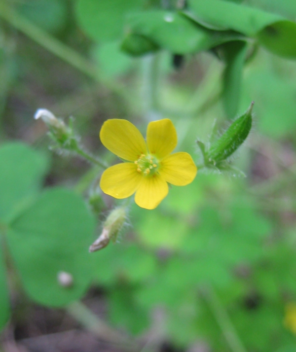 Yellow Wood Sorrel [Oxalis stricta]