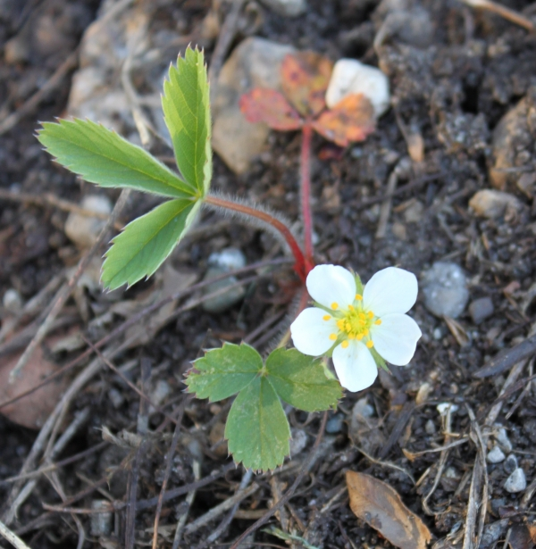 Common Strawberry [Fragaria virginiana]