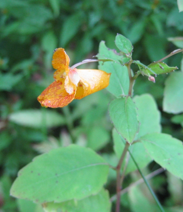 Spotted Touch Me Not [Impatiens capensis]
