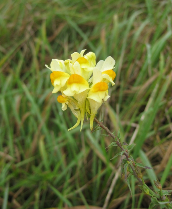 Butter and Eggs [Linaria vulgaris]