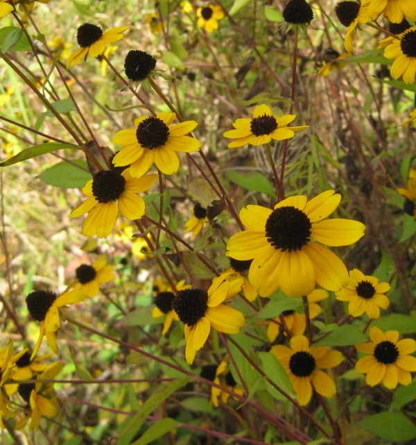 Thin-leaved coneflower [Rudbeckia trilobia]