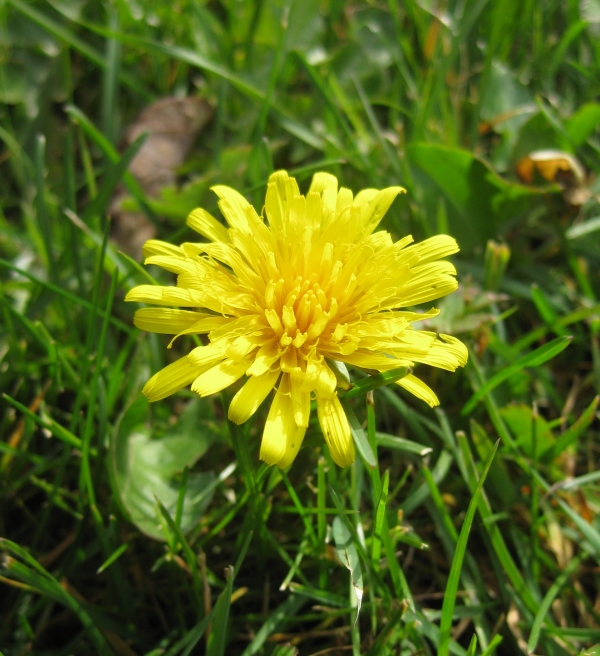 Common Dandelion [taraxacum officinale]