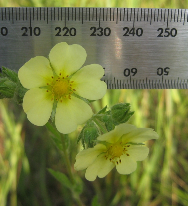 Rough Fruited Cinquefoil []