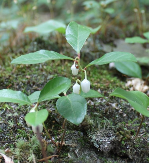 Wintergreen [Gaultheria procumbens]