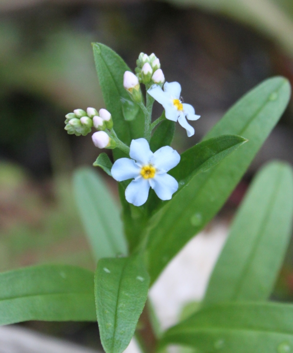 True Forget-Me-Not [Myosotis scorpioides]