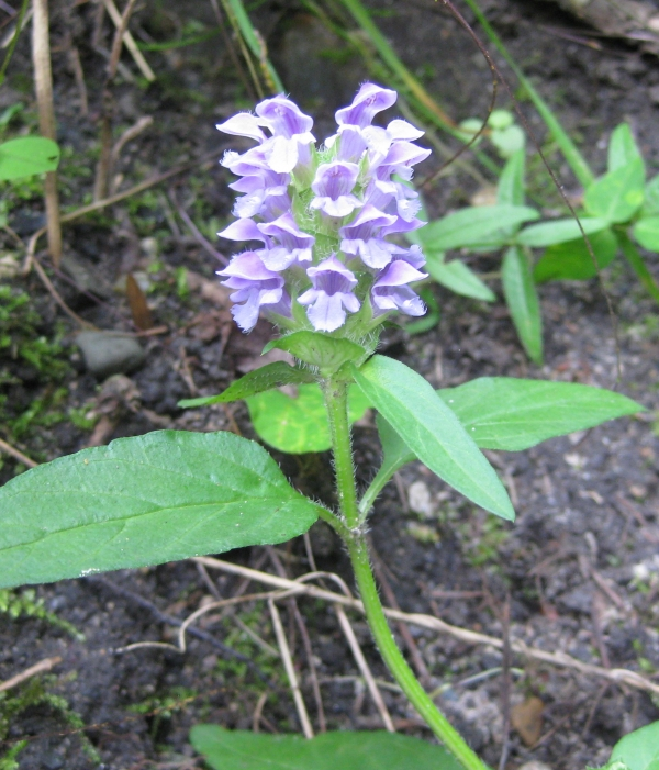 Heal-All [Prunella vulgaris]