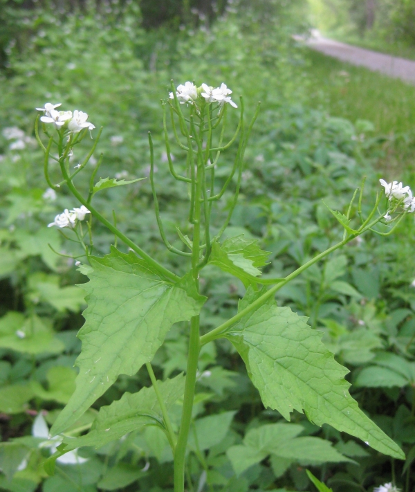 Garlic Mustard [Alliaria officinalis]