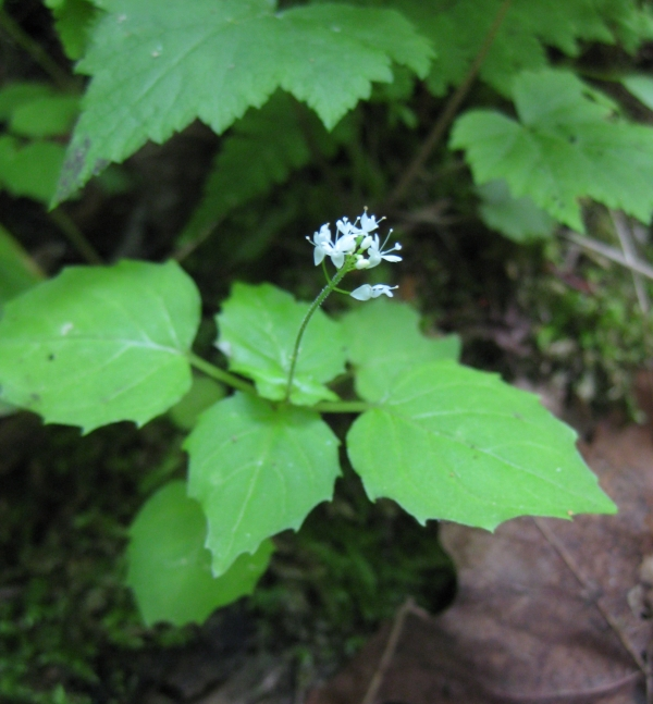 Smaller Enchanter's Nightshade [Circaea  alpina]