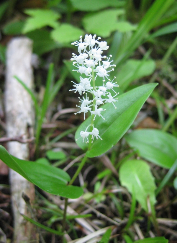 Wild Lily of the Valley [Maianthemum canadense]