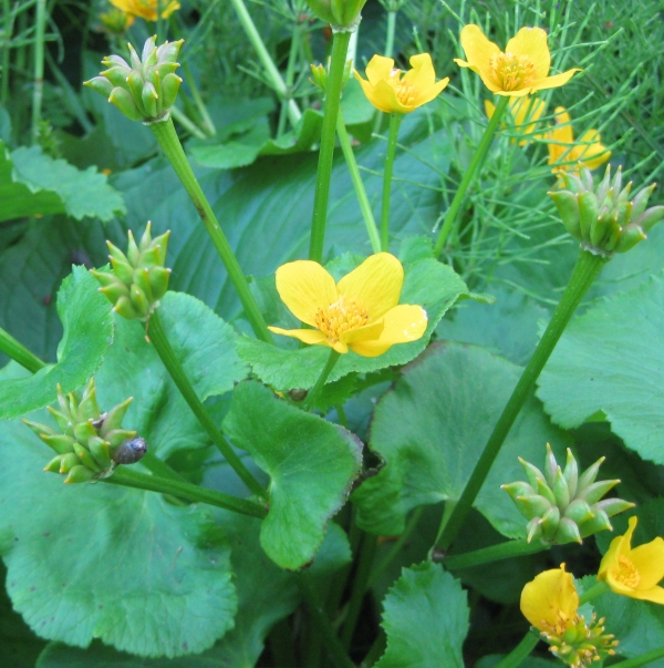 Marsh Marigold [Caltha palustris]