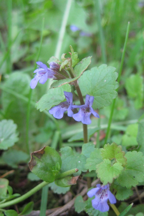 Ground Ivy [Glecboma hederacea]