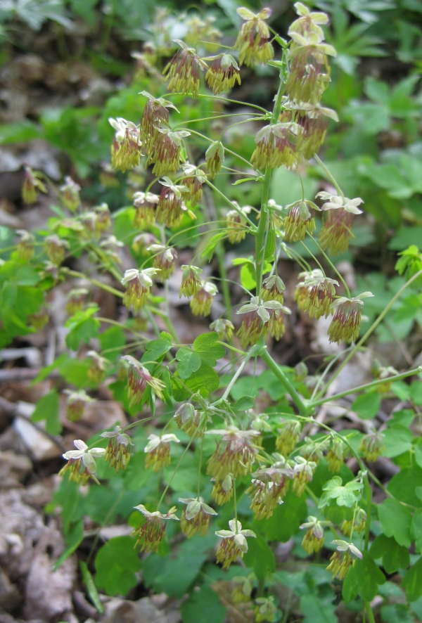 Early Meadow Rue [Thalictrum dioicum]