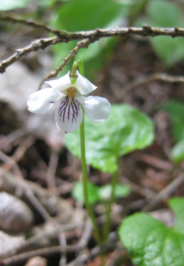 Northern White Violet [Viola pallens]