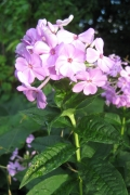 Garden or Fall Phlox