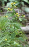 Pale St. Johnswort