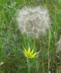 Yellow Goat's Beard