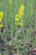Yellow Bedstraw