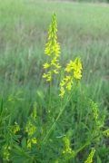 Yello Sweet Clover