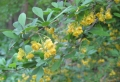 Common Barberry